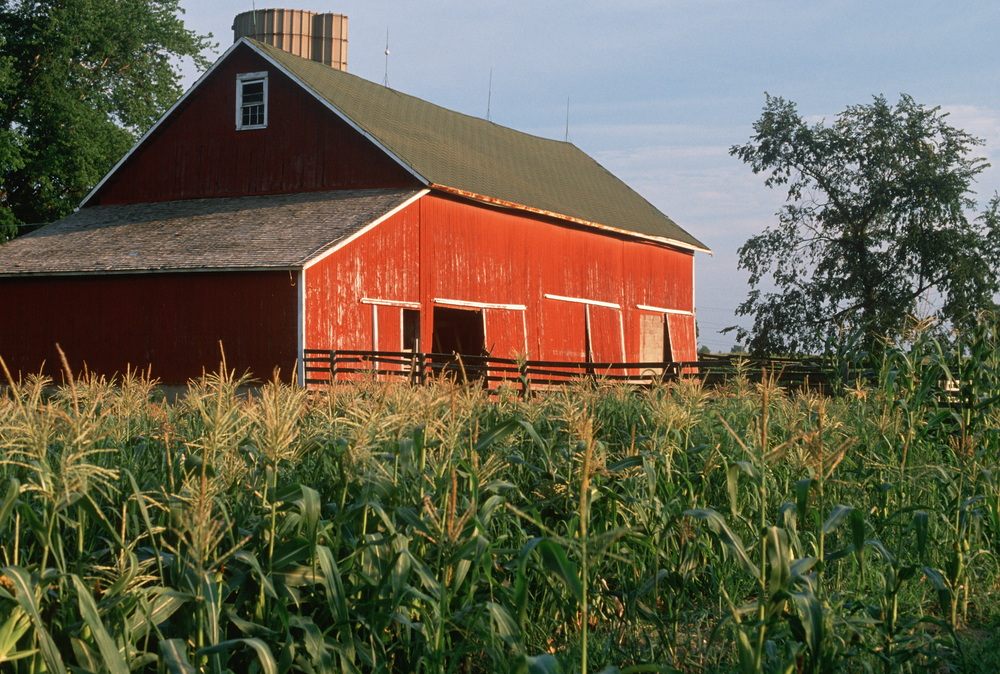 Photo of orange barn in cornfield